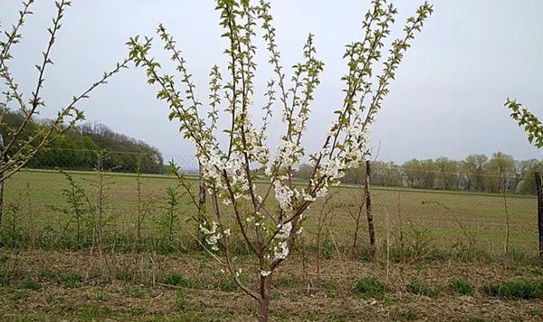цветение дерева