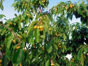 Описание и выращивание черешни сорта Янтарная, выбор опылителей
