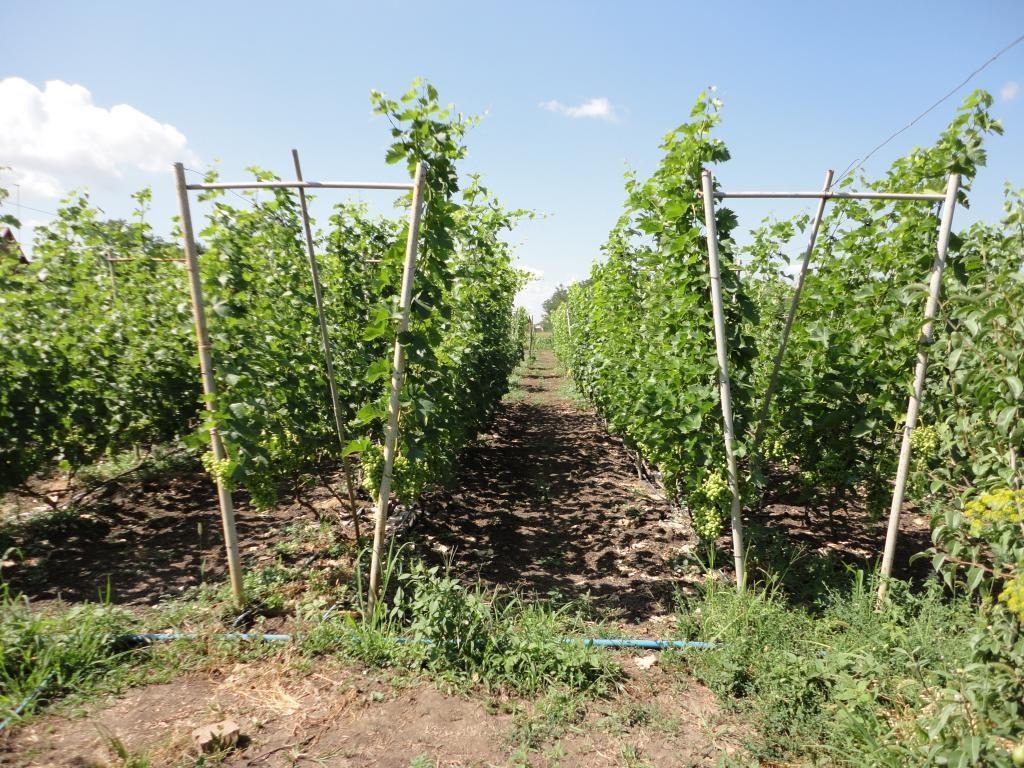 сад винограда на шпалер