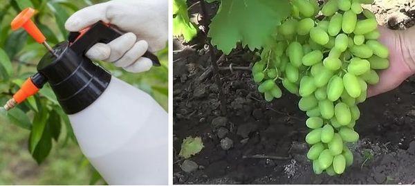 фунгицид для винограда