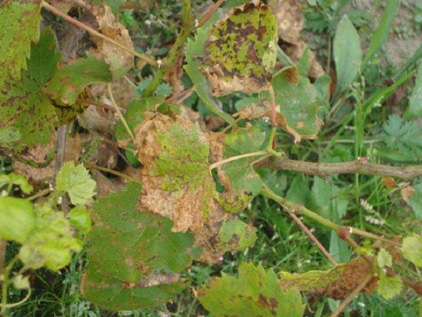 парша на винограде