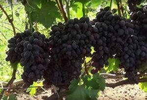 Характеристики и описание винограда сорта Забава, посадка и уход