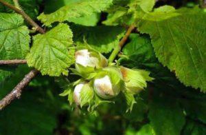 Выращивание и уход за фундуком в открытом грунте, правила посадки лещины