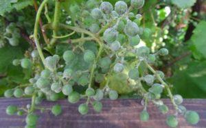Как бороться с белым налетом на листьях винограда и чем лучше обработать