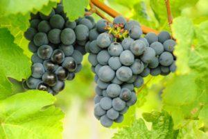 Описание и характеристика винограда сорта Гарнача, посадка и уход