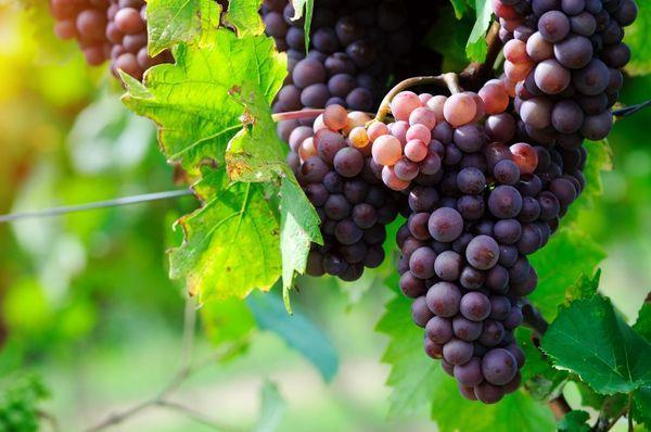 урожайный виноград