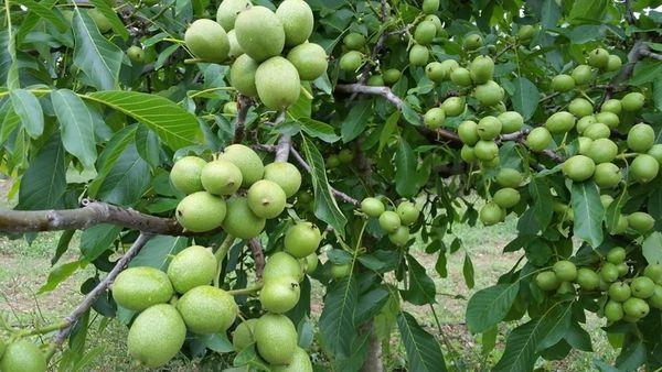 дерево с орехами