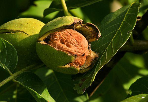 Прикарпатский орех