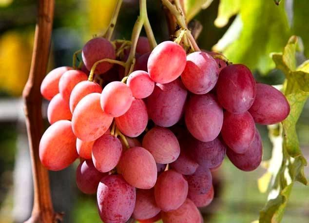 виноград розовый гигант