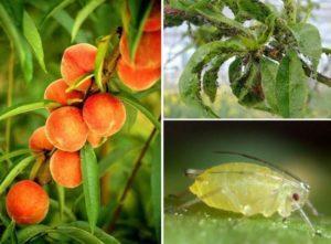 Чем обработать персик от тли и лучшие методы борьбы с вредителем