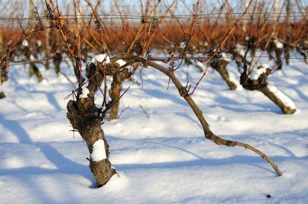 виноград под снегом