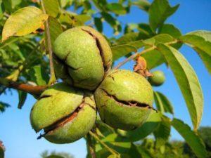 Как правильно посадить грецкий орех, уход и выращивание в домашних условиях