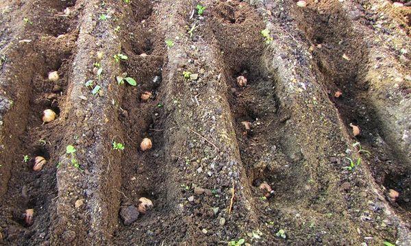орехи в лунках