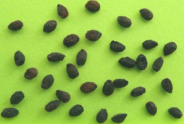 семена крыжовника