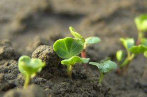 Как посадить и вырастить крыжовник из семян в домашних условиях