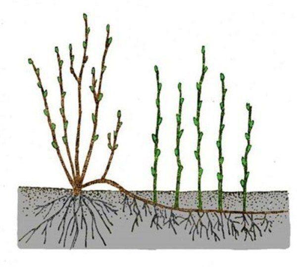 размножение калины