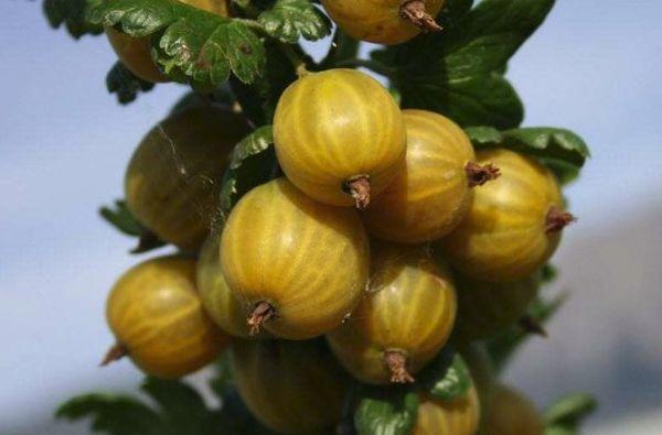 Плоды Английского желтого