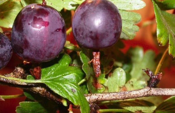 скороспелые ягоды