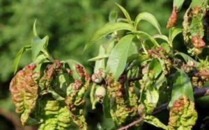 Чем лечить курчавость у персика, методы борьбы и правила обработки