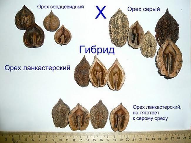 ланкастерский орех