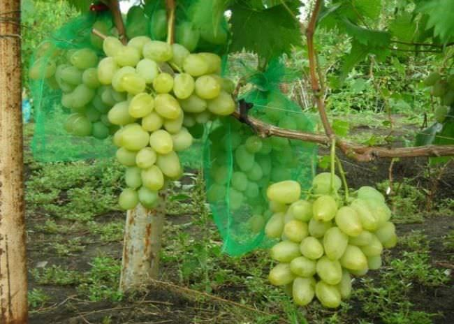 виноград монарх