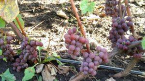 Описание и характеристики 45 лучших морозостойких сортов винограда