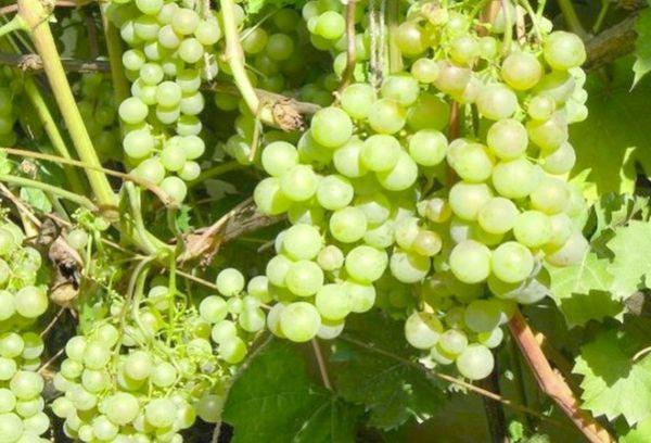 виноград Васьковского