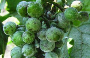 Как правильно проводить обработку винограда содой и марганцовкой