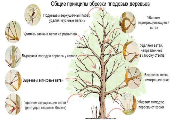 основы обрезки дерева