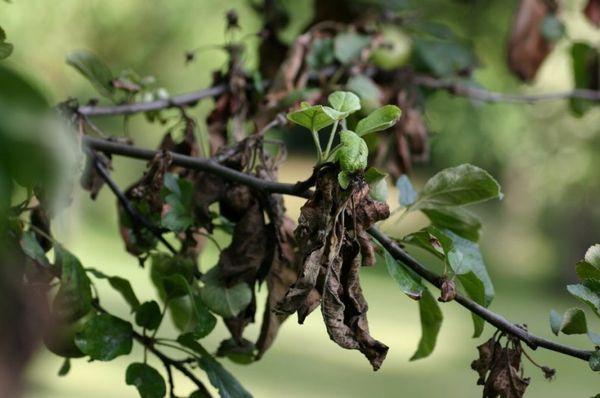 почерневшие листья