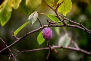 Почему желтеют и опадают листья у сливы, лучшие меры борьбы