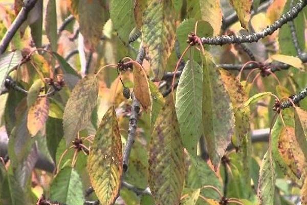 вянут листья