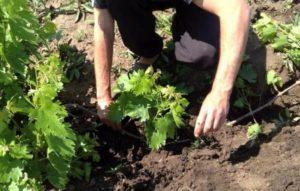 Сроки и инструкция, как пересадить виноград на новое место летом