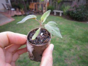 Как правильно выращивать персик из косточки в домашних условиях, посадка и уход