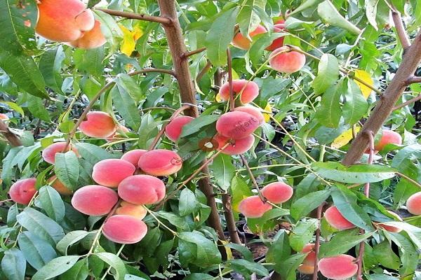 плоды персиков