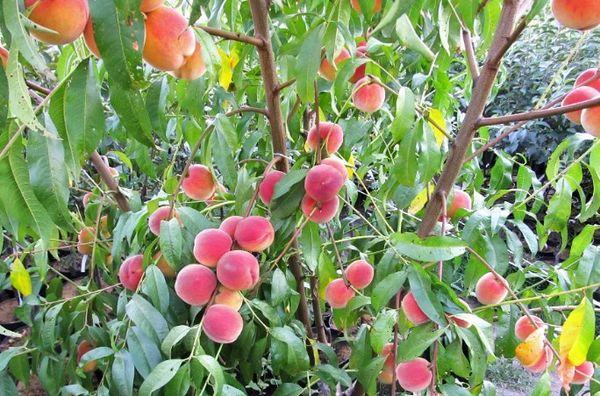 плоды на дереве