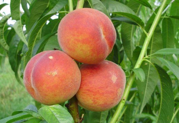 три персика