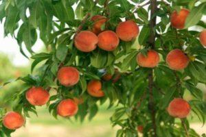 13 лучших сортов персика для средней полосы России, посадка и уход