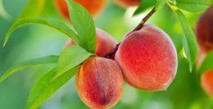 Характеристика и описание персика сорта Золотой юбилей, посадка и уход