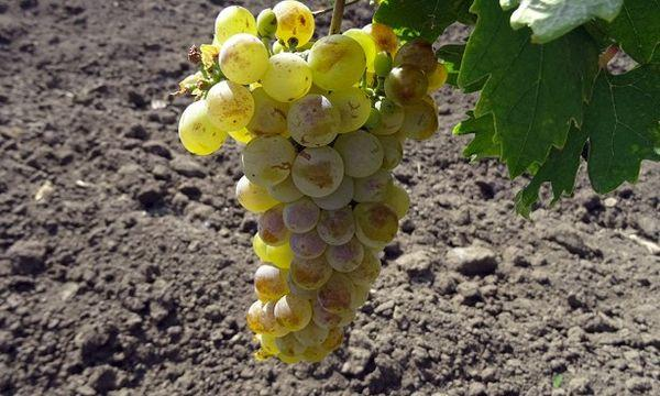 виноград Долгий