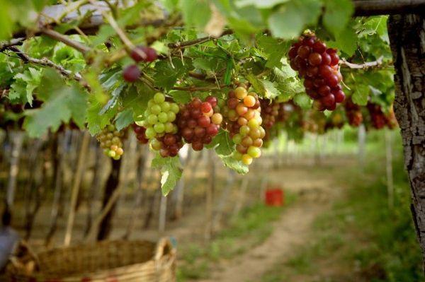 виноградник созревший