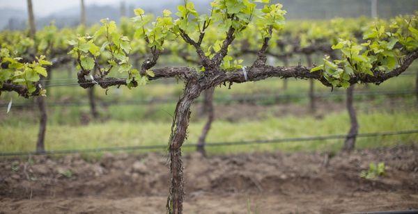 выросший виноград