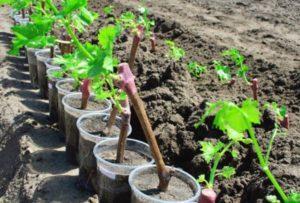 Как правильно посадить виноград пошагово, описание процесса и ухода