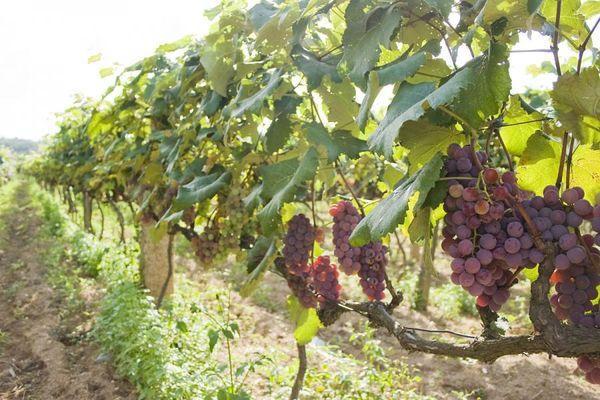 виноград в Поволжье