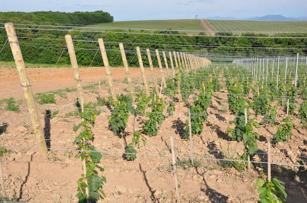 место посадки винограда