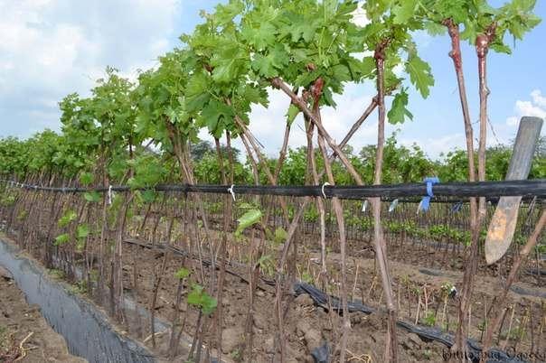 обрезка винограда штамбовым способом