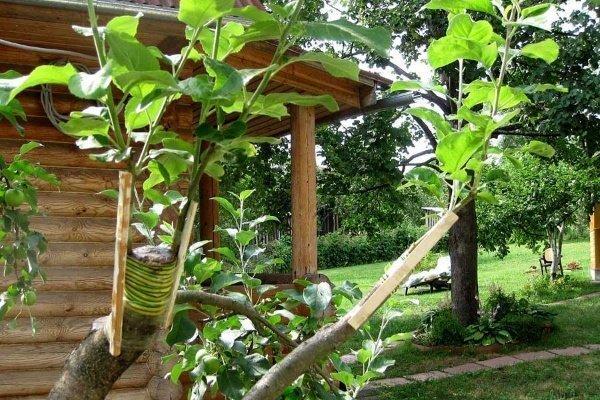 персик в саду