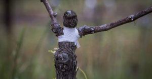 Сроки и рекомендации, как лучше привить виноград в домашних условиях