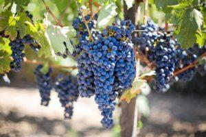Как правильно проводить обрезку винограда пошагово для начинающих
