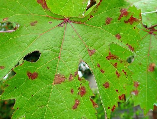 виноград Разновидности пятен Красные